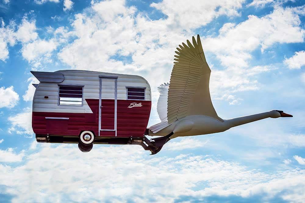 Swan flying free